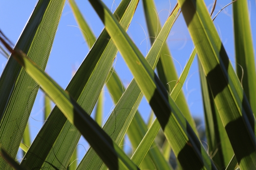 Close-up of interwoven palm fronds against a bright blue sky, Houston, Texas