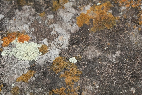 Close-up photo of orange, ivory and gray moss of a rock