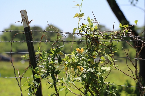 Barbed Wire and Flowering Vine, Houston, Texas